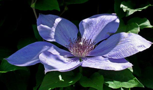 Cosa fiorisce a Maggio? la Clematis