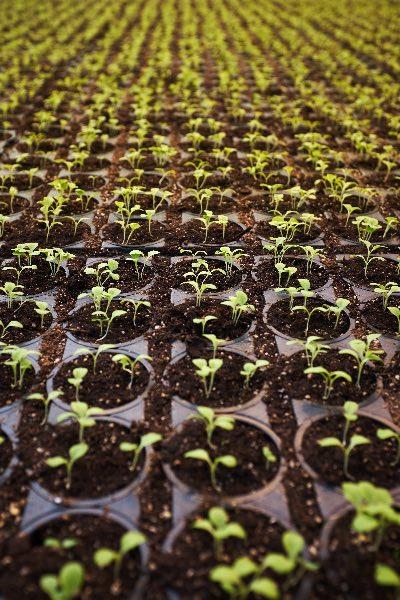 piantine in vaso con coltivazione indoor