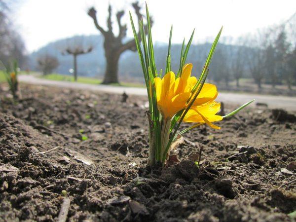 crocus-chrysanthus