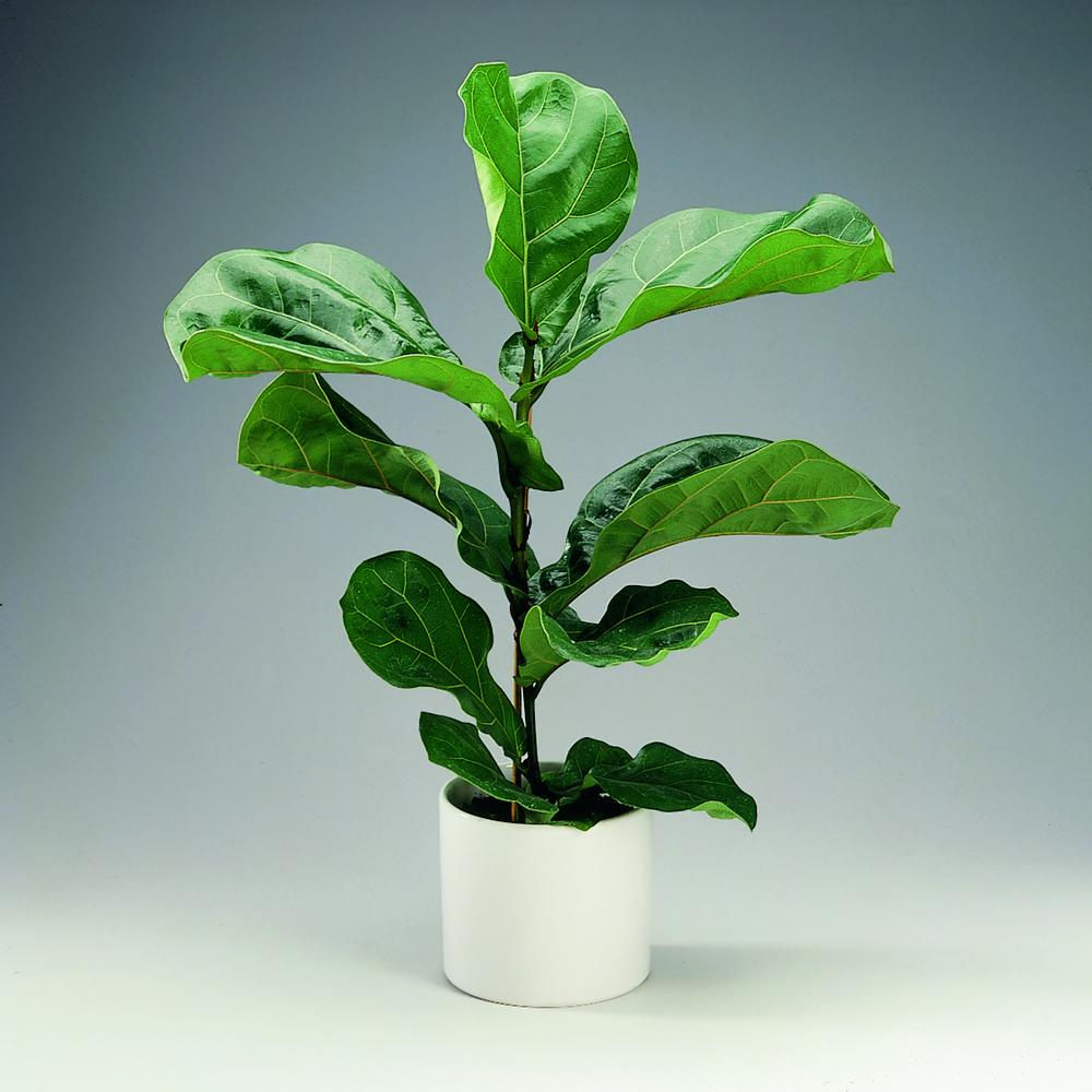 Potare Il Ficus Elastica ficus lyrata: consigli, coltivazione e cura