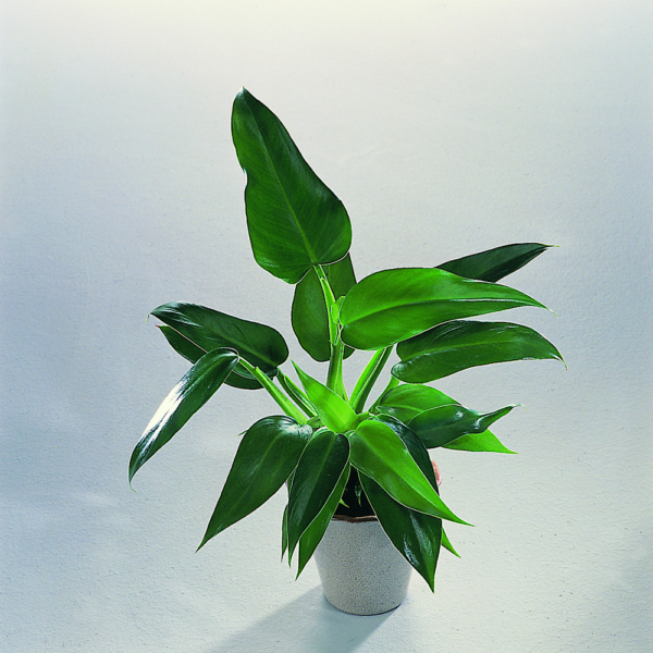 Philodendron tuxtlanum