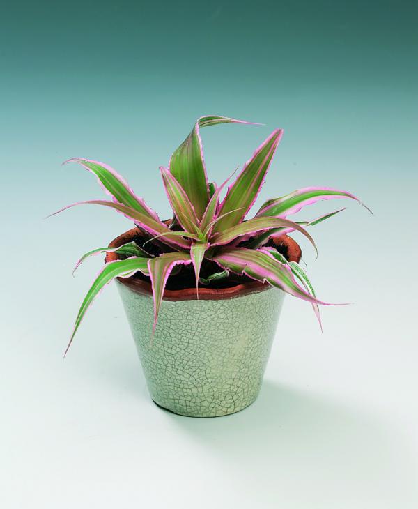 coltivazione in vaso cryptanthus