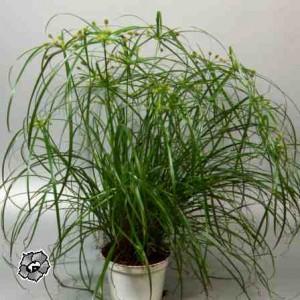 Di papiro. e' una pianta erbacea perenne. le foglie sono di un verde