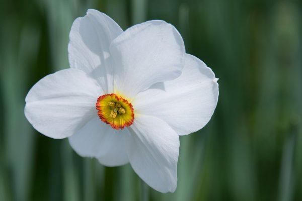 daffodil-527400_960_720