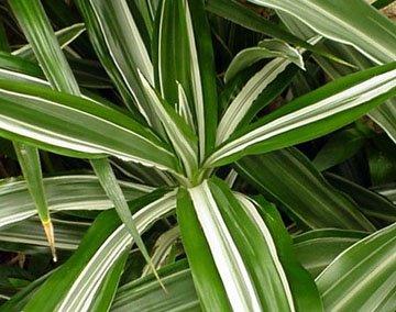 dracaena deremensis bausei