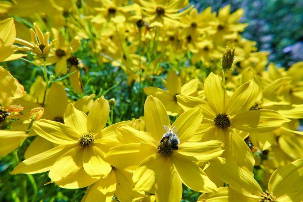 Coreopsis, cosa fiorisce ad Agosto