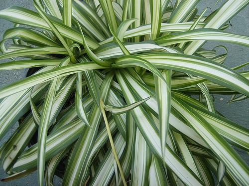 falangio - Chlorophytum comosum 'Vittatum'
