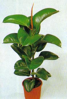 Piante Da Appartamento Ficus.Ficus Elastica O Robusta Consigli Coltivazione E Cura