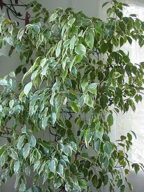 Piante Da Appartamento Ficus : Come curare le piante da appartamento in inverno