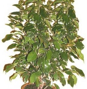 I ficus consigli coltivazione e cura for Ficus benjamin potatura