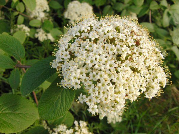 fioritura biancospino
