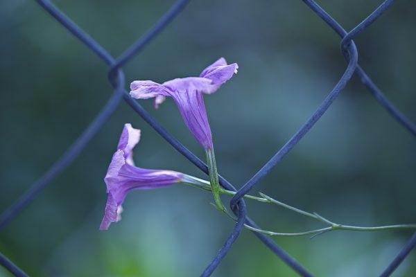 Cosa fiorisce a Luglio: Ruellia brittoniana