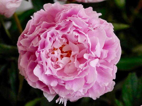Piante e fiori - Grossi fiori da giardino ...