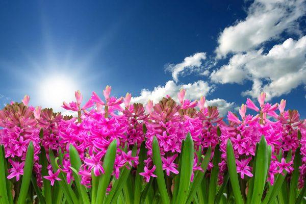 Cosa fiorisce a Maggio: i giacinti