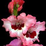 Gladiolo  (Gladiolus)