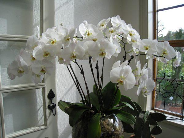 come concimare le orchidee coltivate in vaso