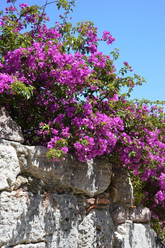 Cosa fiorisce ad Agosto? la Bougainvillea