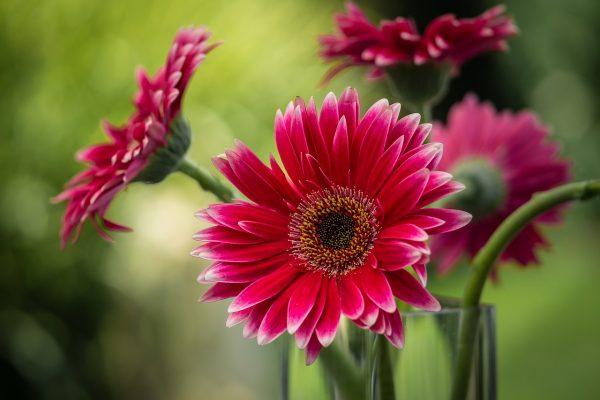 Cosa fiorisce a Luglio: gerbera