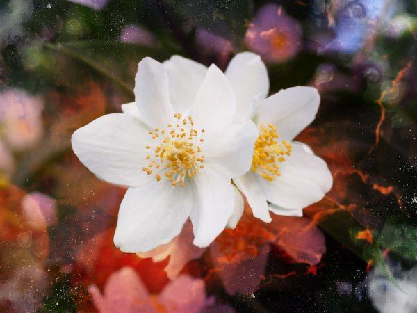 Gelsomino jasminum consigli coltivazione e cura for Gelsomino potatura