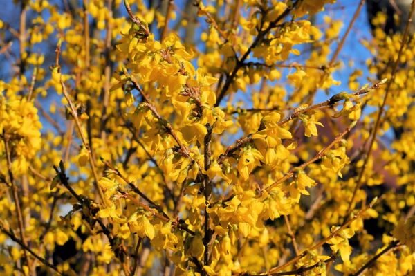 i cespugli di forsizia fioriscono a fine inverno