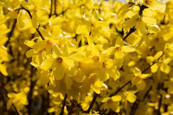 Cura delle piante in giardino Febbraio: Forsizia