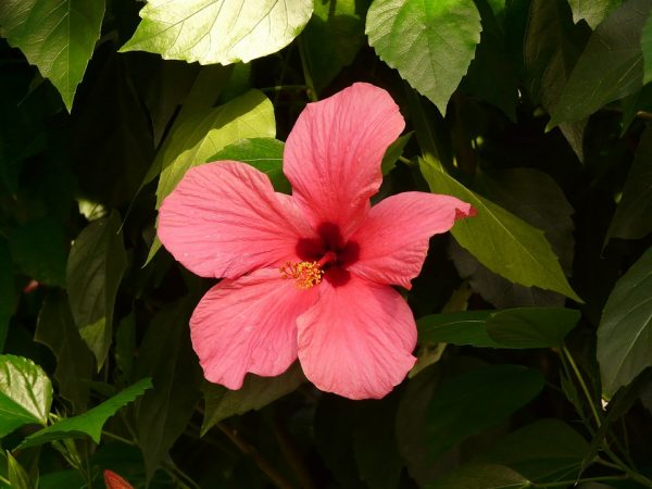 Ibiscus (Hibiscus)