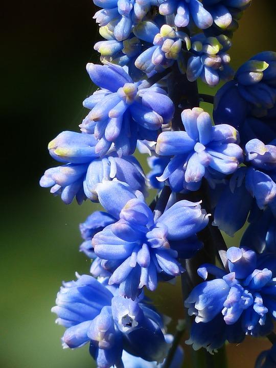 Giacinto - Hyacinthus