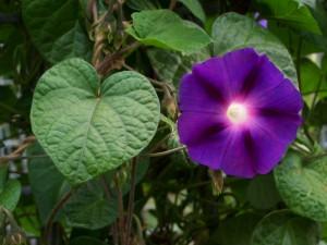 ipomoea-purpurea