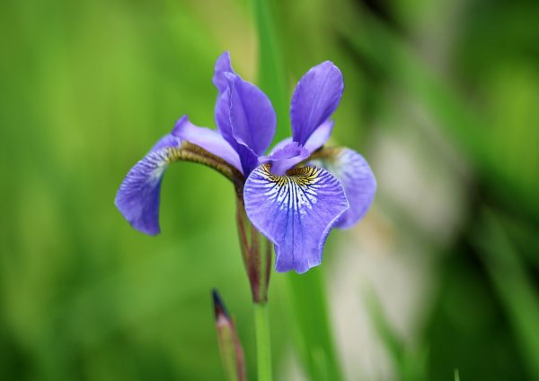 Iris rizomatosi non barbati