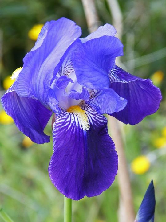 coltivazione iris