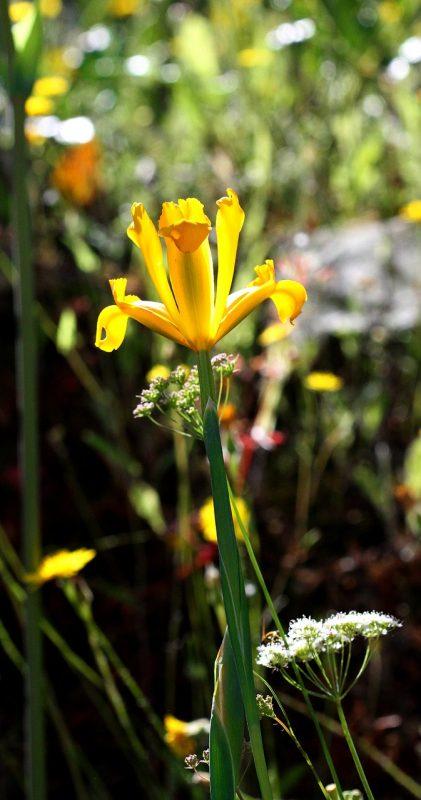 Iris rizomatosi non barbati: Iris pseudacorus