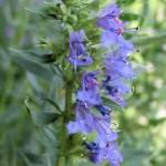 Hyssopus Officinalis (Issopo)