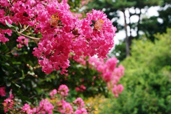 fioritura lagerstroemia