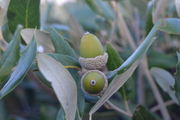 Piante mediterranee da giardino: leccio