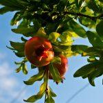 Come coltivare gli alberi da frutto in vaso