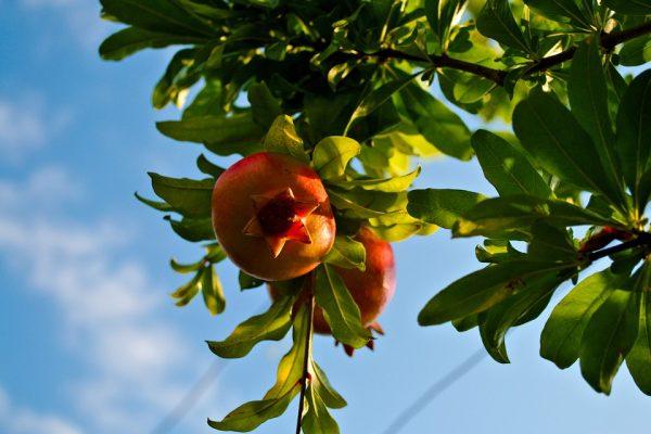 Scegliere Gli Alberi Da Giardino : Come coltivare gli alberi da frutto in vaso