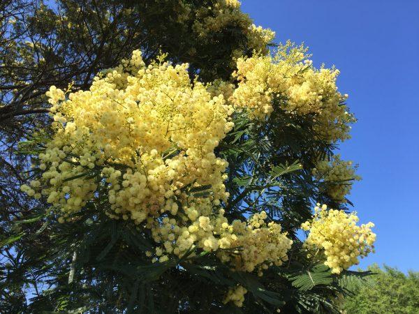Come coltivare la Mimosa in giardino
