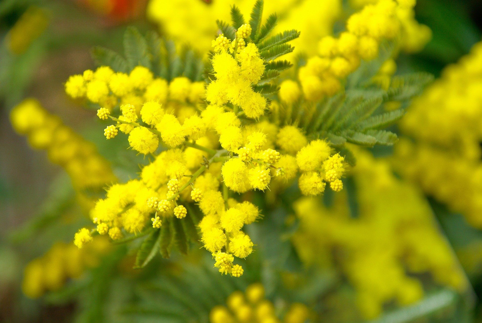 Fiori Che Amano Il Sole mimosa (acacia dealbata): consigli, coltivazione e cura