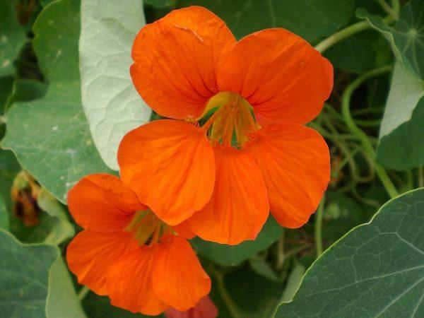 Nasturzio arancione