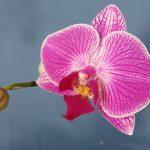 Phalaenopsis  o Orchidea  Falena