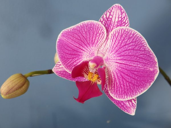 Orchidea Falena (Phalaenopsis)
