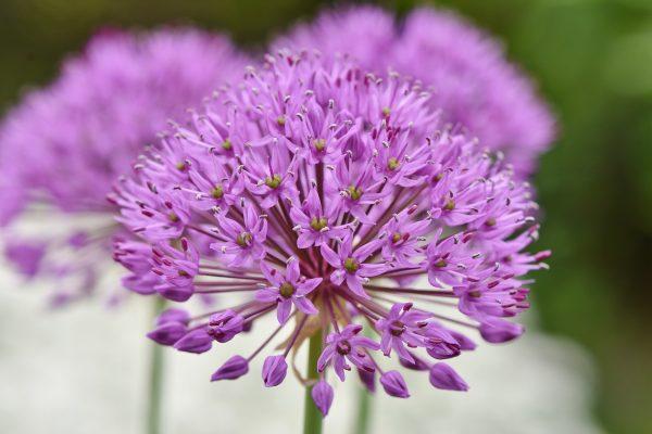 Cosa fiorisce a Maggio? l'Allium