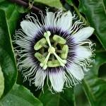 Passiflora (Fiore della passione)