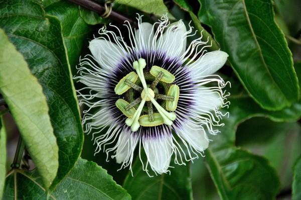 Passiflora Fiore Della Passione Consigli Coltivazione