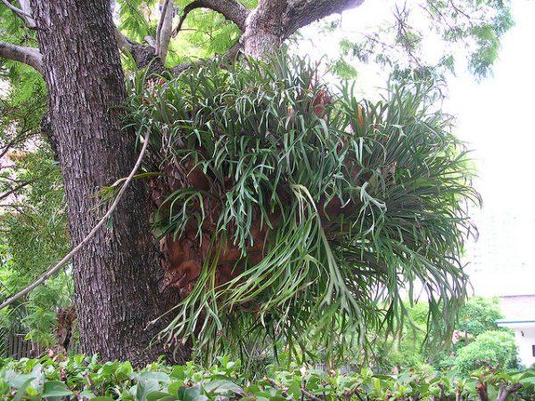 Platycerium Bifurcatum è una pianta epifita