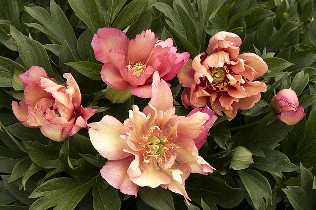 Paeonia (Intersectional hybrid) x 'Kopper Kettle'