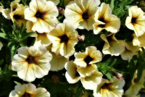Cosa fiorisce ad Agosto? Petunia