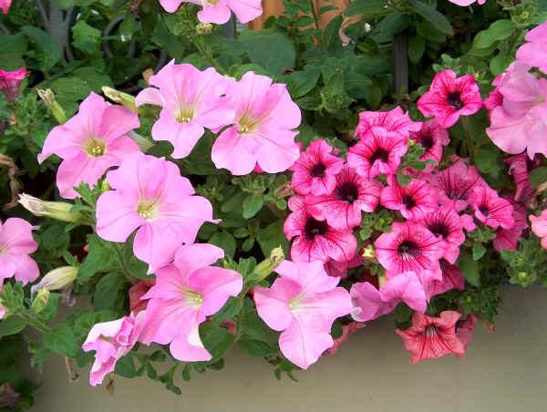petunia consigli coltivazione e cura