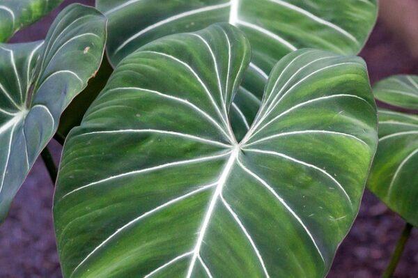 filodendro-gloriosum