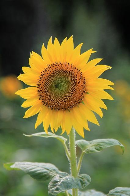 Fiore Giallo Girasole